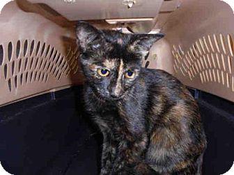Domestic Mediumhair Cat for adoption in Lacombe, Louisiana - AMBER