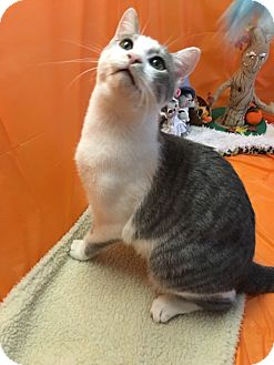 American Shorthair Kitten for adoption in Butner, North Carolina - Pepper