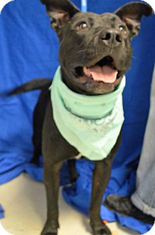 American Staffordshire Terrier Mix Dog for adoption in Monroe, Michigan - Charleston