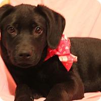 Adopt A Pet :: Cherry - Harrisburg, PA