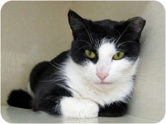 Domestic Shorthair Cat for adoption in Riverhead, New York - Boots