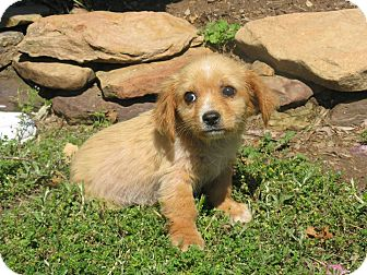 Golden Retriever/Shepherd (Unknown Type) Mix Puppy for adoption in Stilwell, Oklahoma - Sadie