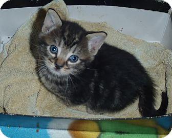 Massachusetts Bengal Cat Adoption
