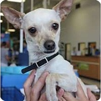 Adopt A Pet :: Lola - Arlington, TX