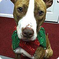 Adopt A Pet :: CINNAMON - Dennis, MA