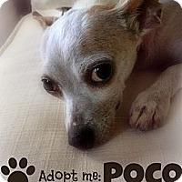 Adopt A Pet :: Poco - Naples, FL