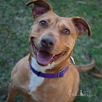 American Pit Bull Terrier Mix Dog for adoption in Farmington Hills, Michigan - Zoey