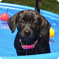 Adopt A Pet :: *Hayley - PENDING - Westport, CT