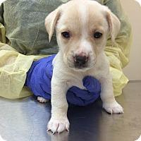 Adopt A Pet :: Yoda (Star Wars Pup) - Cumming, GA