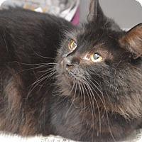 Domestic Longhair Cat for adoption in Brooklyn, New York - Hazel