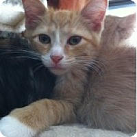 Adopt A Pet :: Marcel Marceau - St. Louis, MO