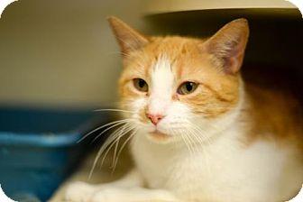 Domestic Shorthair Cat for adoption in Philadelphia, Pennsylvania - *Sweet Sherbert*