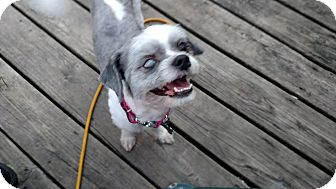 Shih Tzu/Bichon Frise Mix Dog for adoption in Detroit, Michigan - Frankie-Adopted!