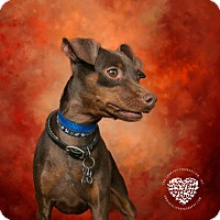 Miniature Pinscher Dog for adoption in Inglewood, California - Moose