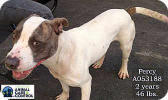 American Staffordshire Terrier Mix Dog for adoption in St. Louis, Missouri - Percy