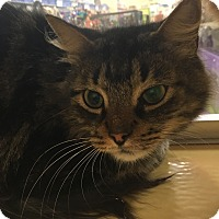 Domestic Shorthair Cat for adoption in Monroe, Georgia - QT