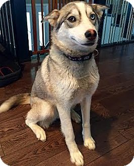 Husky Mix Dog for adoption in Saskatoon, Saskatchewan - Storm