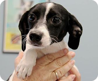 Dachshund Puppy for adoption in Weston, Florida - Sahara