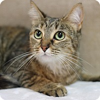 Domestic Shorthair Cat for adoption in Midland, Michigan - Morgan