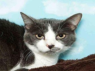 Domestic Mediumhair Cat for adoption in Alameda, California - BELLE