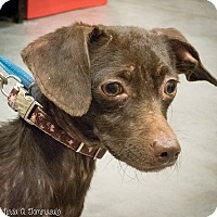 Adopt A Pet :: Choco. (Salsa) - Loudonville, NY