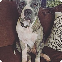 Adopt A Pet :: Capone - oklahoma city, OK