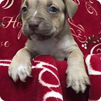 Adopt A Pet :: Anakin - San Diego, CA