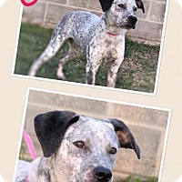 Adopt A Pet :: Celia - Lake Jackson, TX