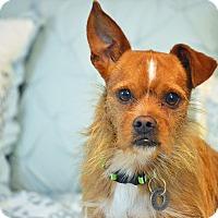 Adopt A Pet :: Cabe - Bedminster, NJ