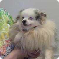 Pomeranian Mix Dog for adoption in Wildomar, California - Adeline