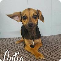 Adopt A Pet :: Cutie - Royal Palm Beach, FL