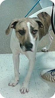 Terrier (Unknown Type, Medium) Mix Puppy for adoption in Hayden, Alabama - Chomps