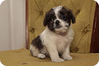 Pug/Shih Tzu Mix Puppy for adoption in Kittery, Maine - Arnold