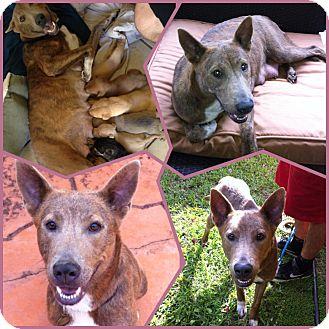 Australian Cattle Dog Puppies Orlando Fl
