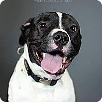 Adopt A Pet :: Diesel - Muskegon, MI