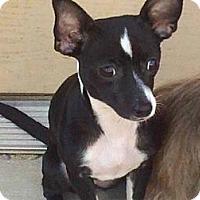 Adopt A Pet :: Scarlett ($200 in New England) - Brattleboro, VT