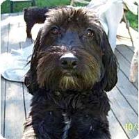 Adopt A Pet :: Brice - Dayton, OH