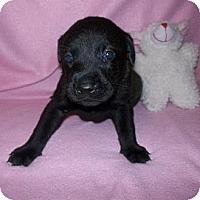 Adopt A Pet :: Ebony - Shirley, NY