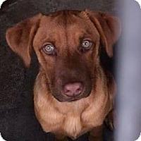 Adopt A Pet :: CINNAMON - Torrance, CA