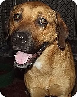 Anatolian Shepherd Mix Dog for adoption in Savannah, Missouri - Yollie