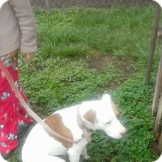 Labrador Retriever/Hound (Unknown Type) Mix Dog for adoption in North, Virginia - Bambi