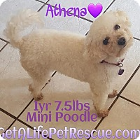 Adopt A Pet :: Athena - Wellington, FL