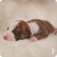 Adopt A Pet :: Jinx Monsoon - Greensboro, NC