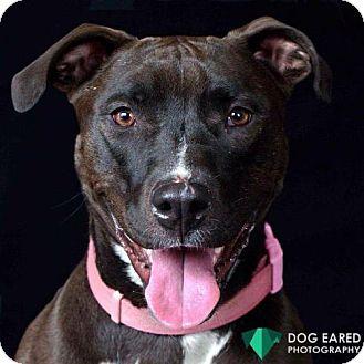 Pit Bull Terrier Mix Dog for adoption in Boston, Massachusetts - Millie