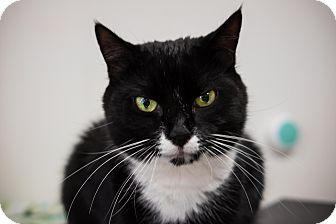 Domestic Shorthair Cat for adoption in Acushnet, Massachusetts - Mya