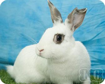 Blanc de Hotot Mix for adoption in Pflugerville, Texas - Cotswold