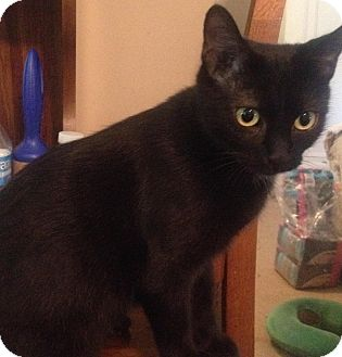 Domestic Shorthair Cat for adoption in Covington, Kentucky - Cookie
