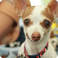 Adopt A Pet :: Peaches - Romeoville, IL