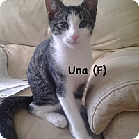 Domestic Shorthair Kitten for adoption in West Orange, New Jersey - Una
