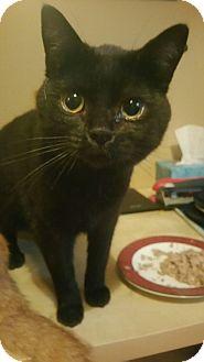 Domestic Shorthair Cat for adoption in Barrington Hills, Illinois - Binxy
